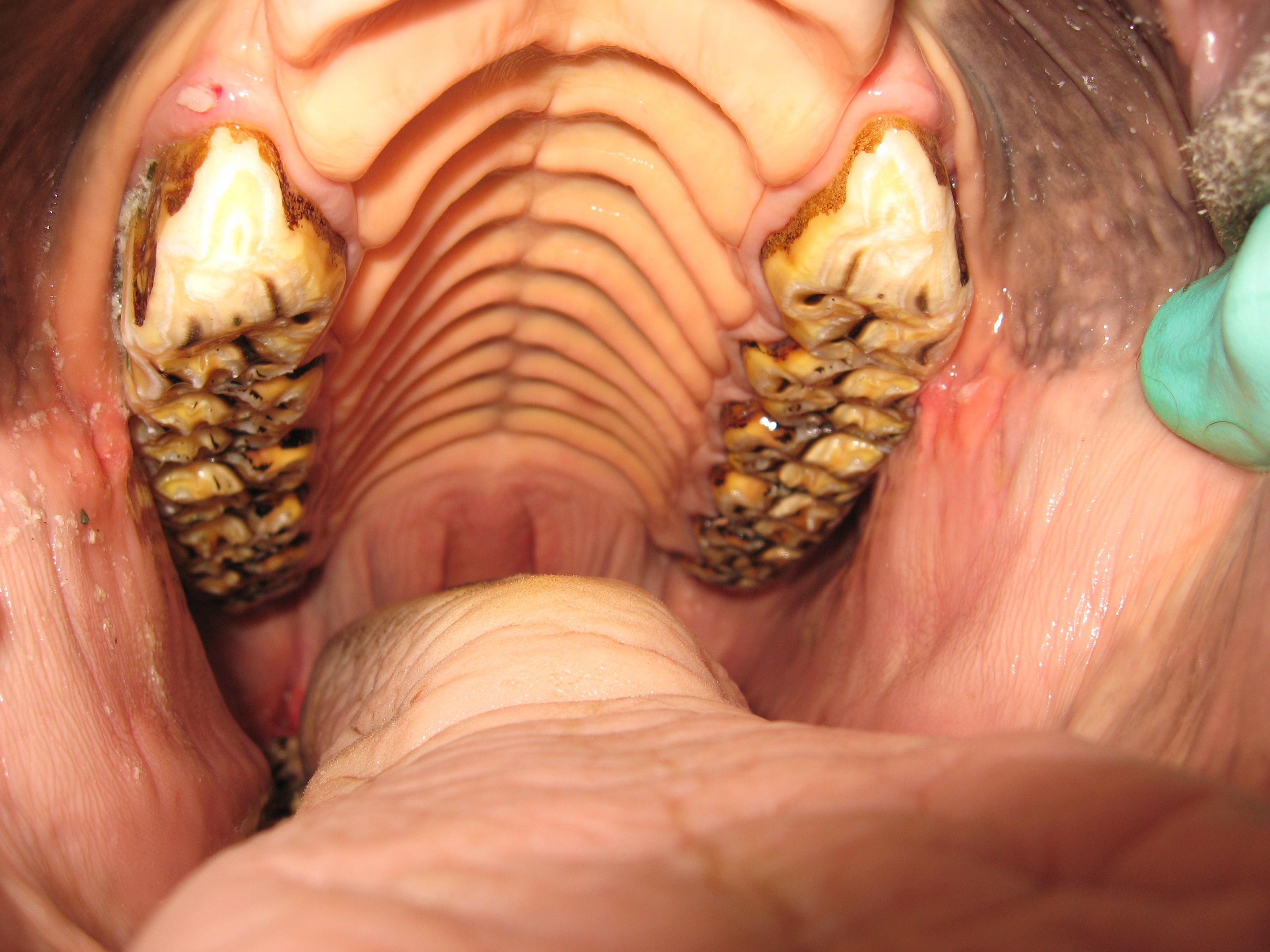 Image of mouth after a float procedure at Valley Veterinary Hospital